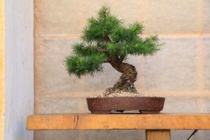 Borovice bonsaj Merklín