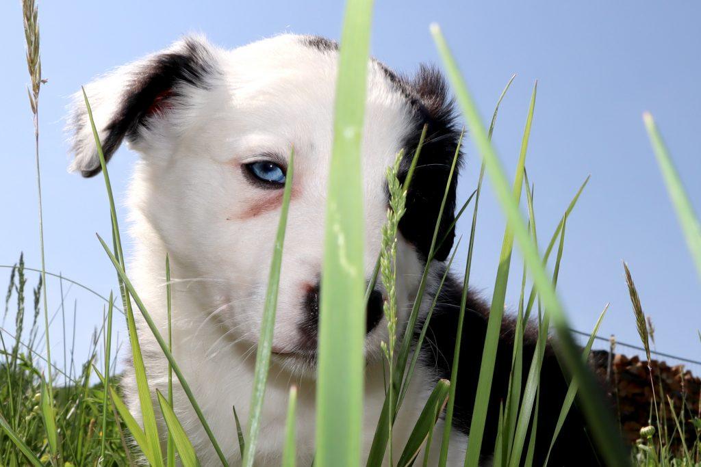 Pes modré oči