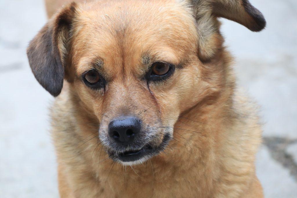Rumunsko pes