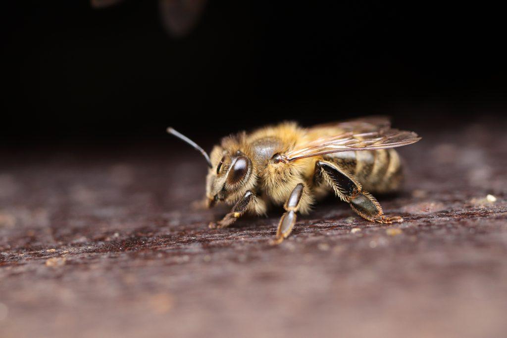 Včela macro