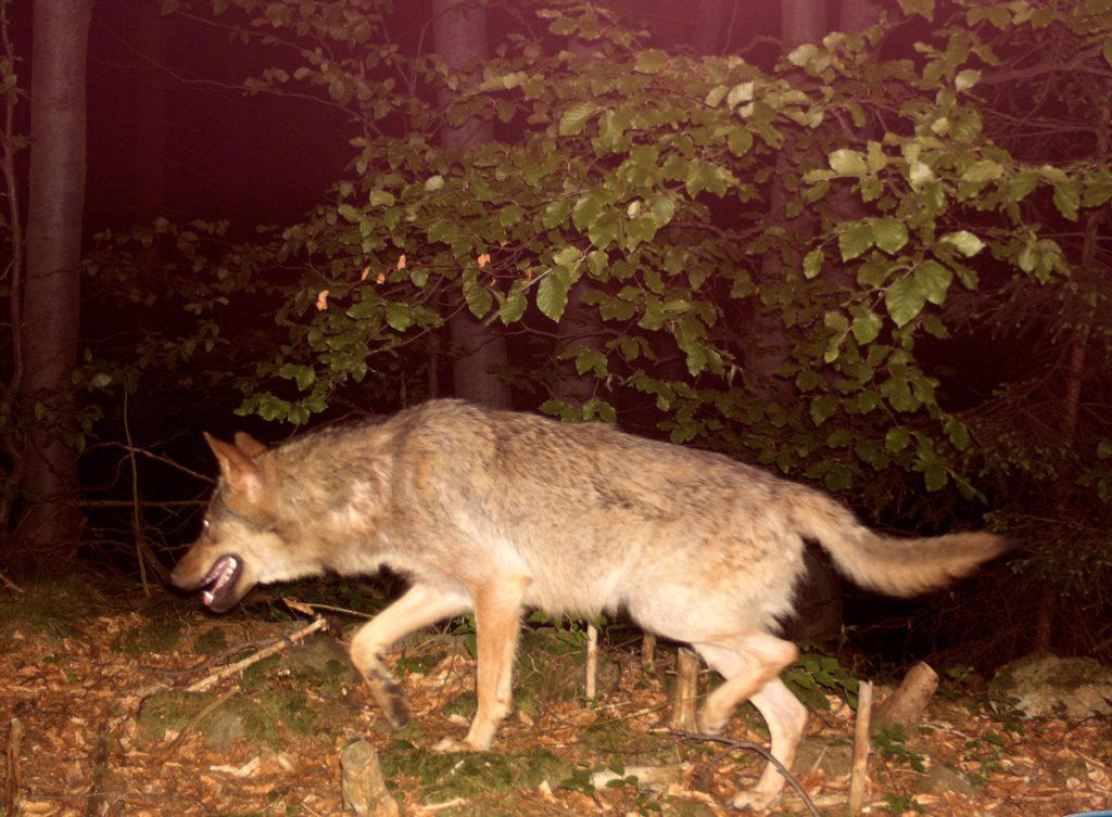 Vlk v Beskydech